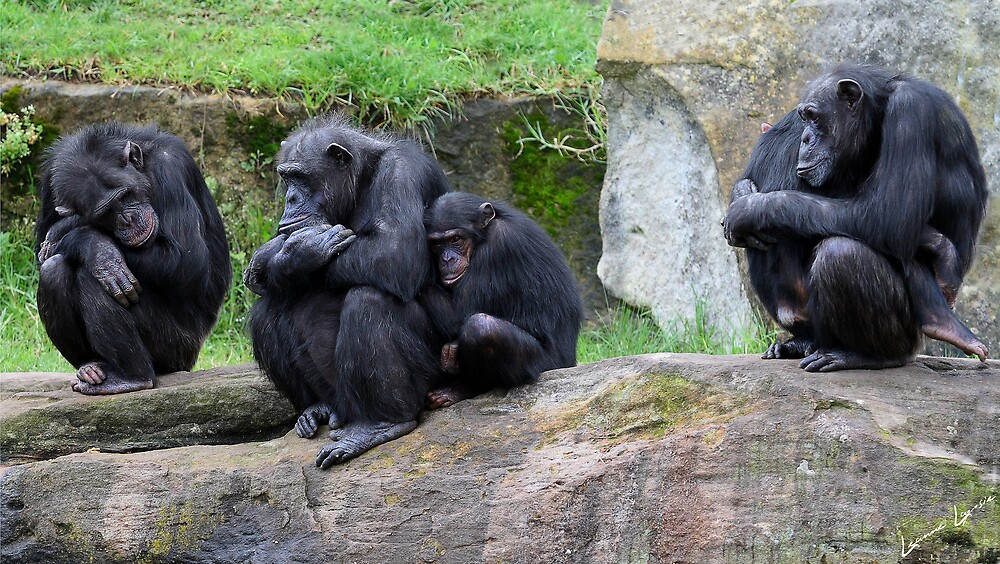 Meet The Chimps by RememberThis