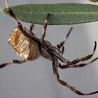 Goldern orb spider after a shower by BigAndRed