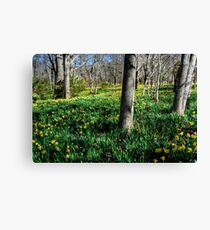 Daffodils field forever... Canvas Print