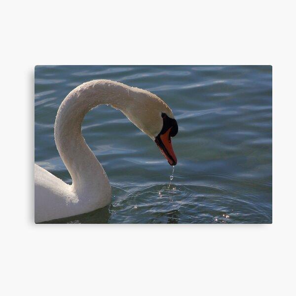 Mute Swan #5  Canvas Print