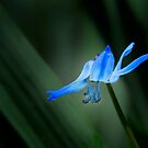 A touch of blue by cclaude
