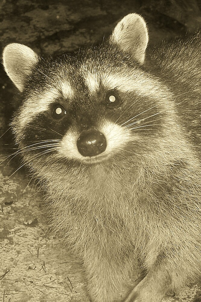 Racoon by Valerie