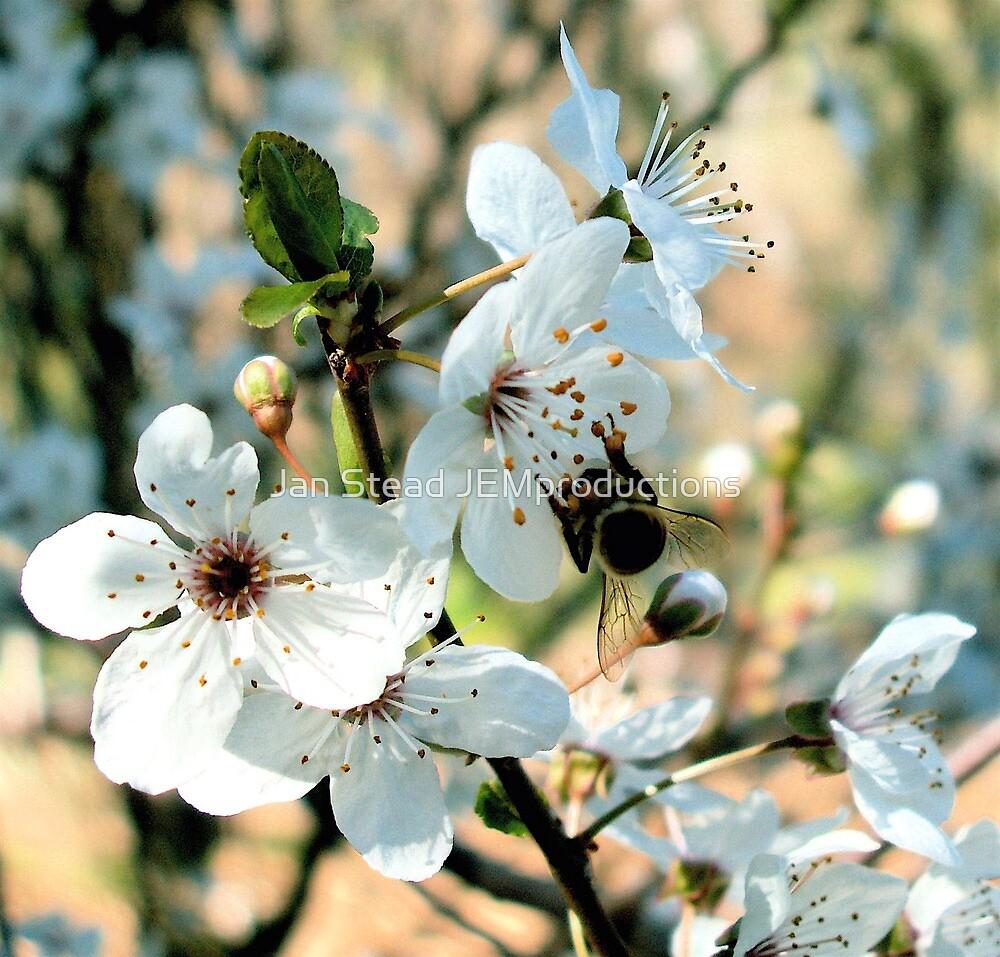 apple blossom downunder  by Jan Stead JEMproductions