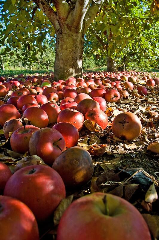 Apple Harvest Bigr Redbubble