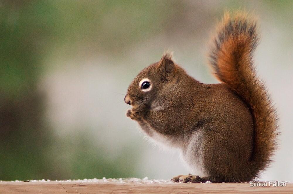 Red Squirrel by Simon Fallon