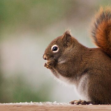Red Squirrel by Manta