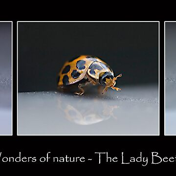 Wonders of Nature - The Lady Beetle by MountainHideAway