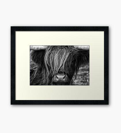 Highland Cow, Scotland Framed Print