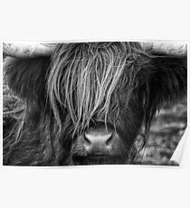 Highland Cow, Scotland Poster