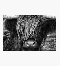 Highland Cow, Scotland Photographic Print