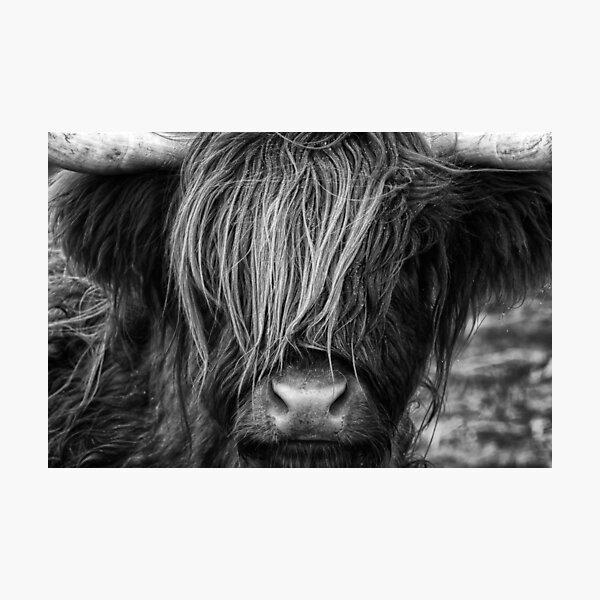 Highland Cow, Scotland Photographic Print
