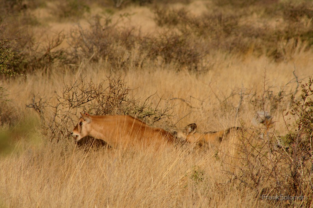 Wild dogs killing young oryx. by FrankSolomon