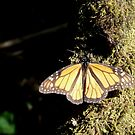 Monarch Butterfly at Valle de Bravo by Peter Fletcher