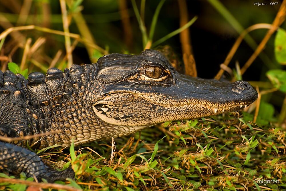 Baby Alligator by mlgoren