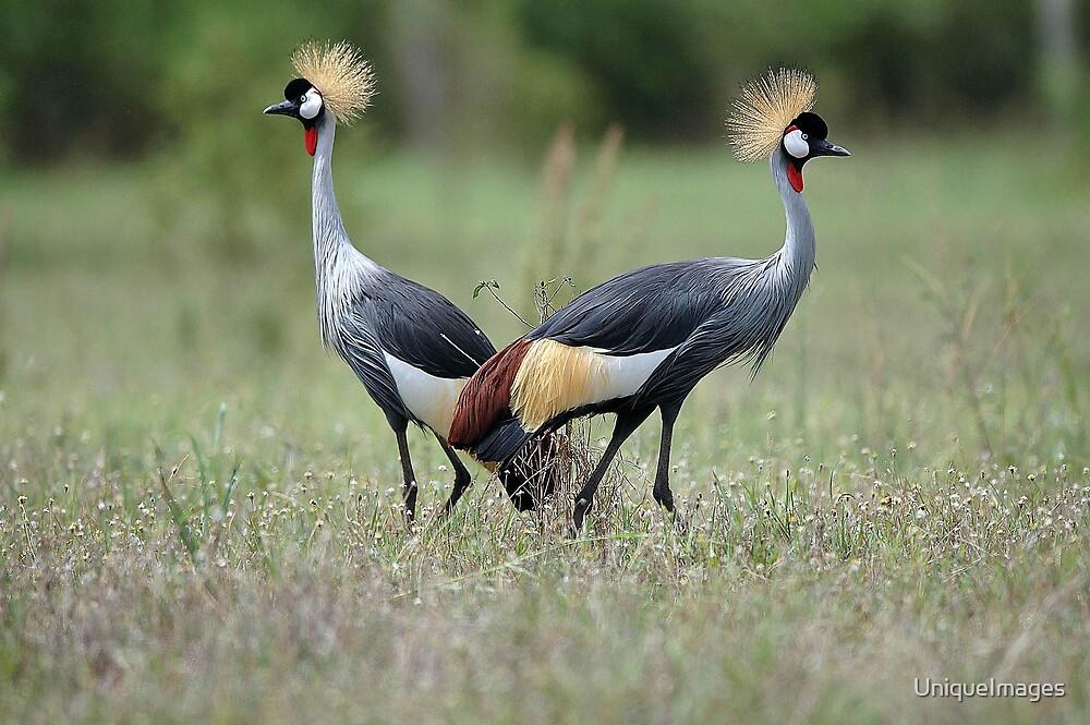 Crested Cranes by UniqueImages