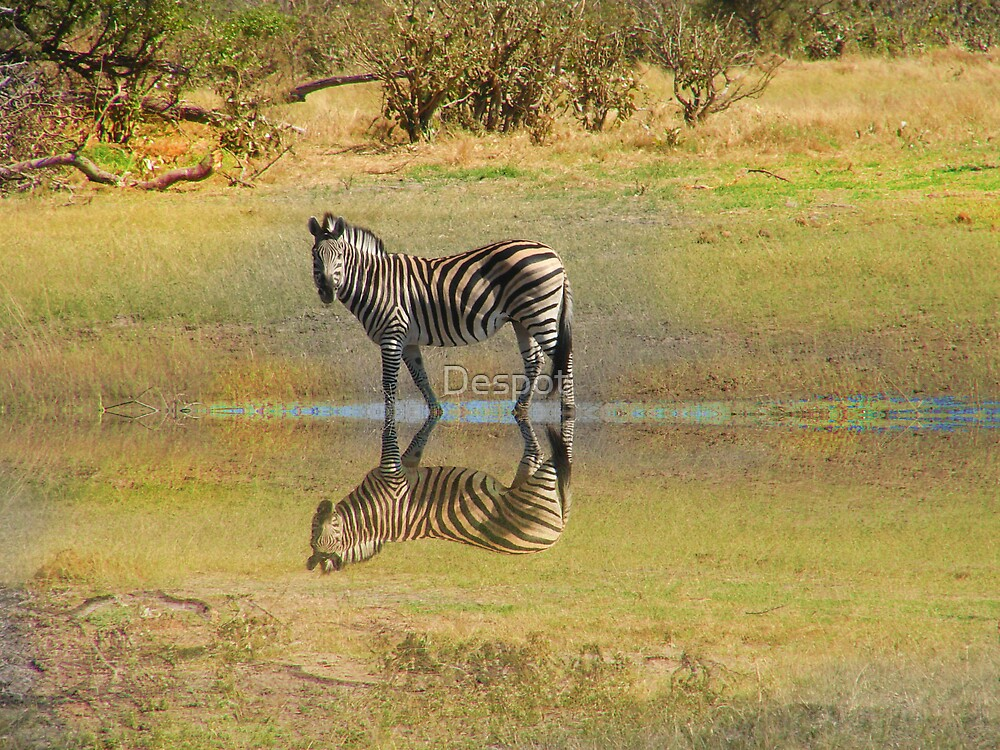 Zebra in Botswana by Despot