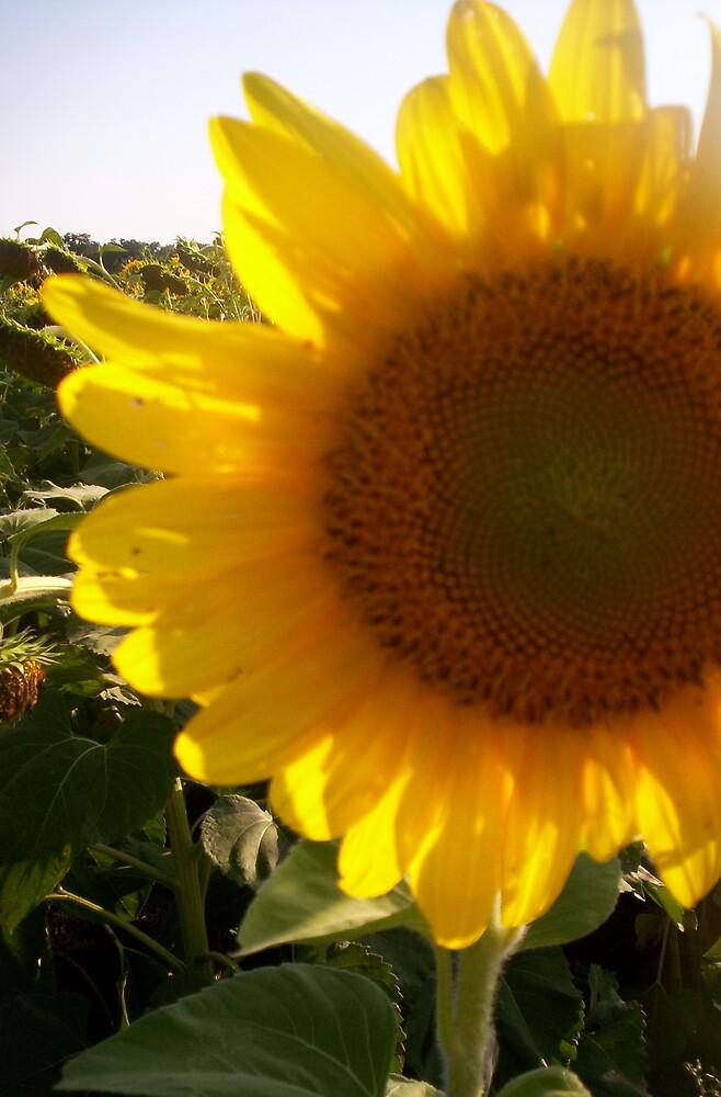 sunflower by saranissen