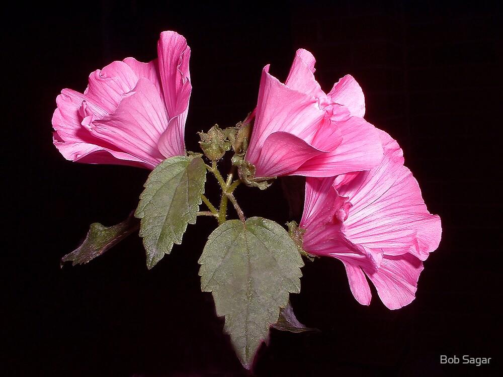 Lavatera trimestris Pink Beauty by Bob Sagar