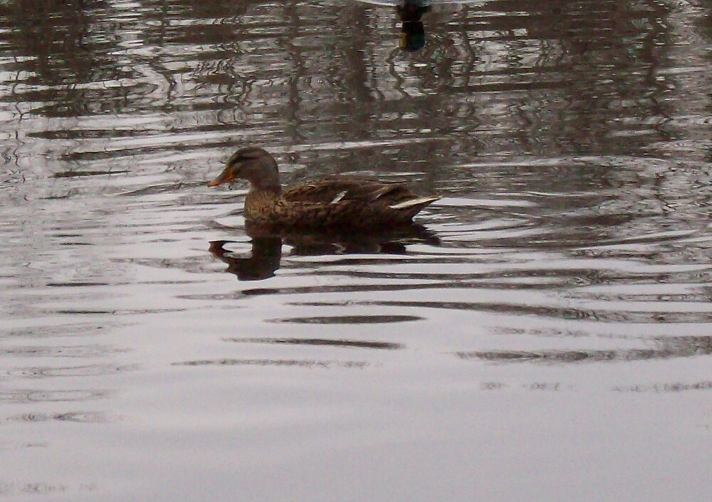swimming duck by antwilliams