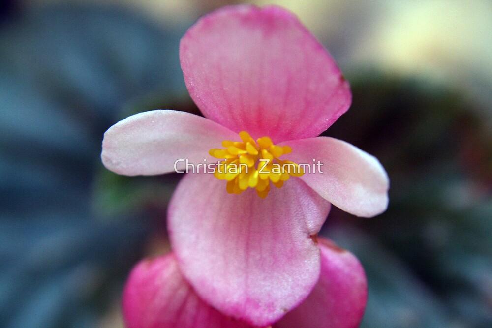 The wax flower by Christian  Zammit