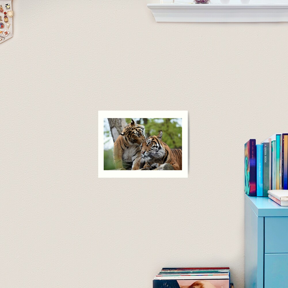 Tigers showing affection Art Print
