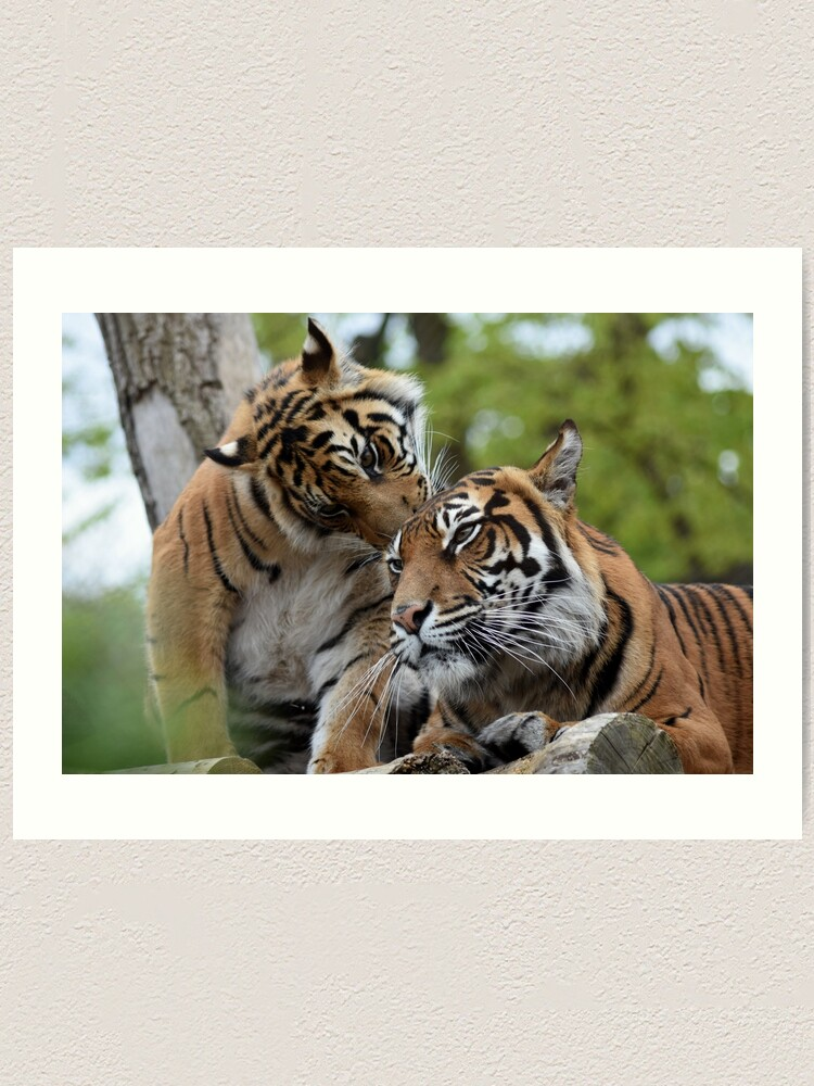 Alternate view of Tigers showing affection Art Print