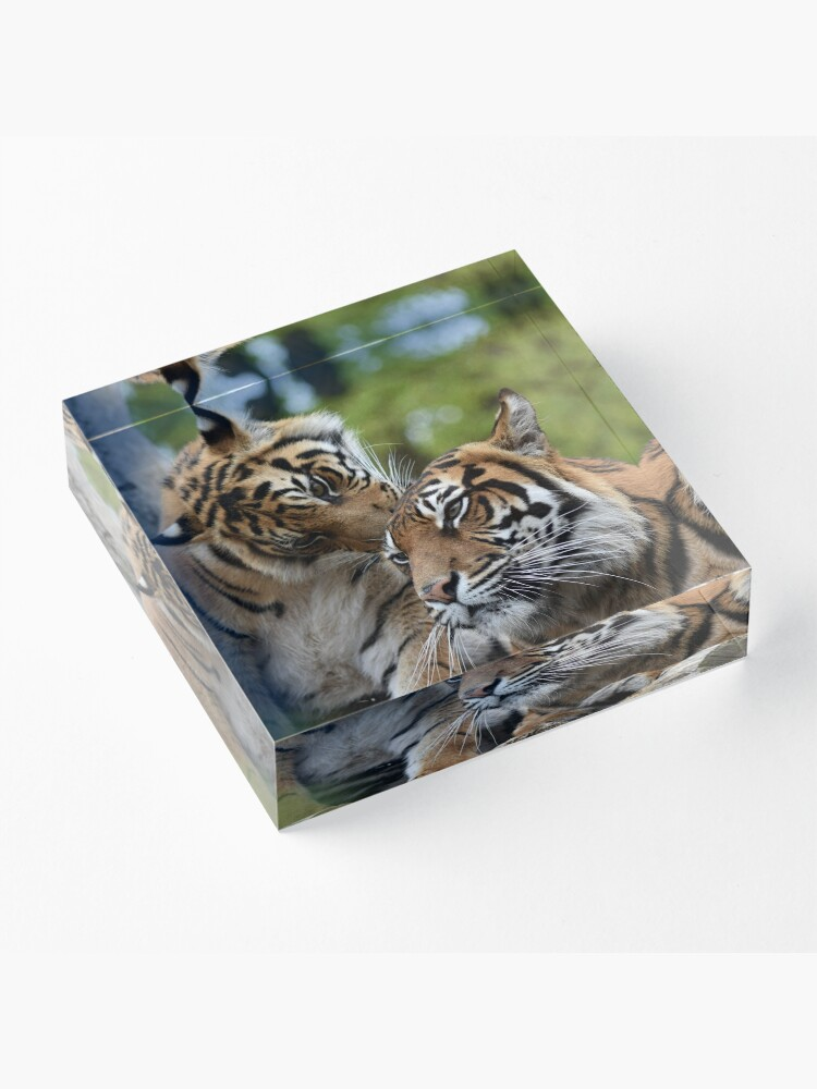 Alternate view of Tigers showing affection Acrylic Block