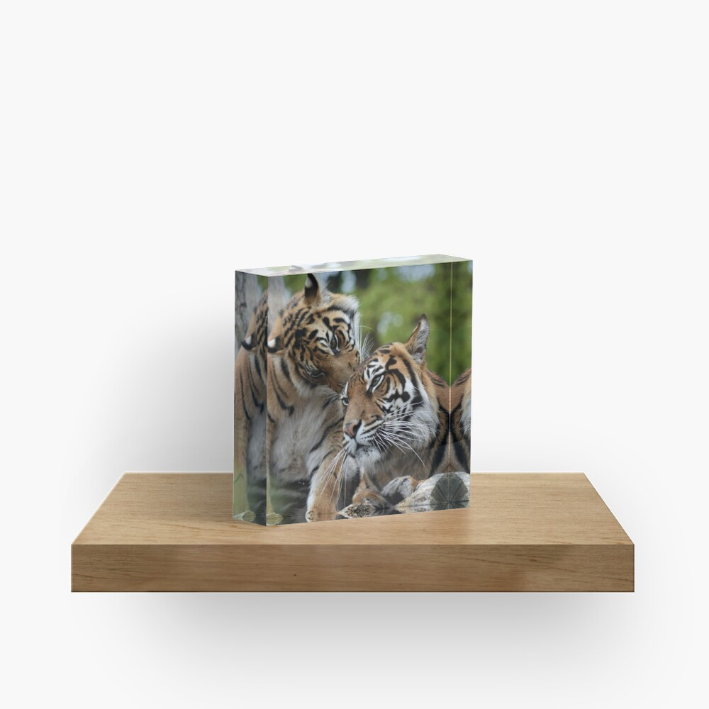 Tigers showing affection Acrylic Block