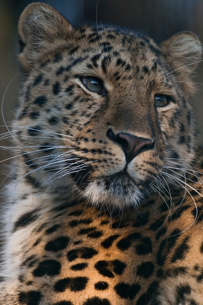 Amurleopard by Janus  Olsen