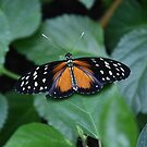 Tiger longwing butterfly by gabriellaksz