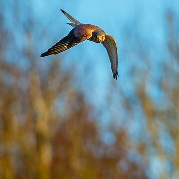 Hunting Kestrel by Dalyn