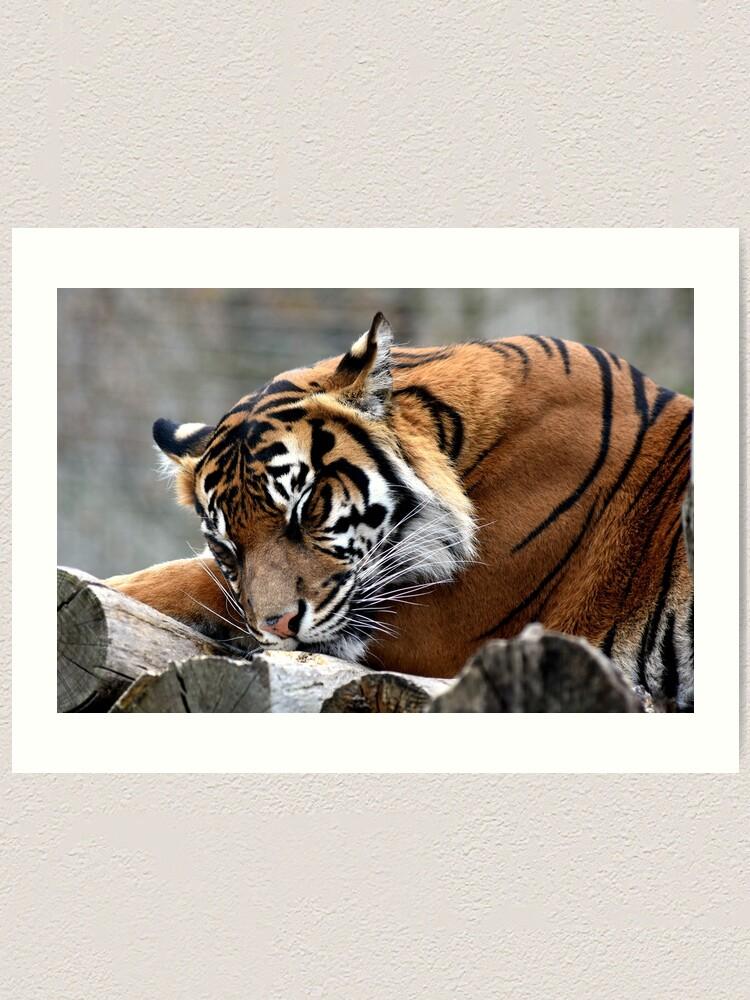 Alternate view of Sleeping tiger Art Print