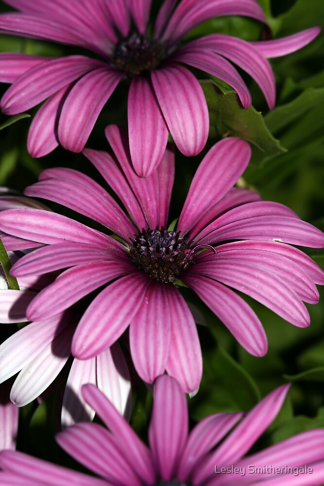 Pinkish White Daisies II by Lesley Smitheringale