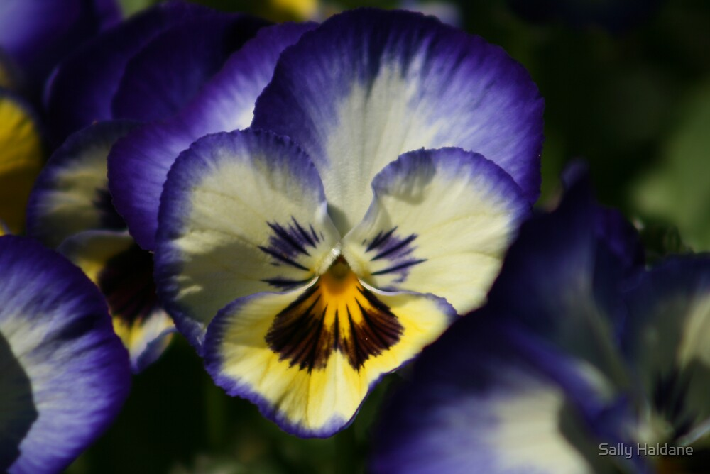 Pansy Bleu by Sally Haldane