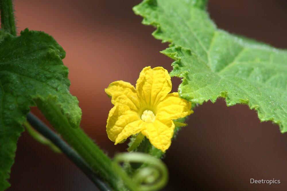 Yellow flower Pumkin vine by Deetropics