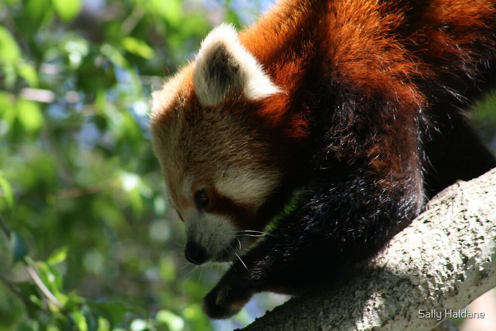 Red Panda by Sally Haldane
