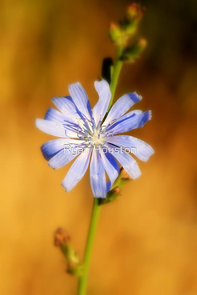 Blue Cornflower by Ryan Houston