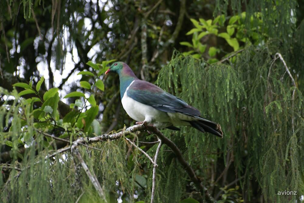 Kereru. New Zealand wood pigeon by avionz