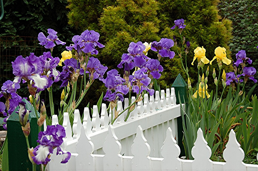 Picketed Irises, Tas by patapping