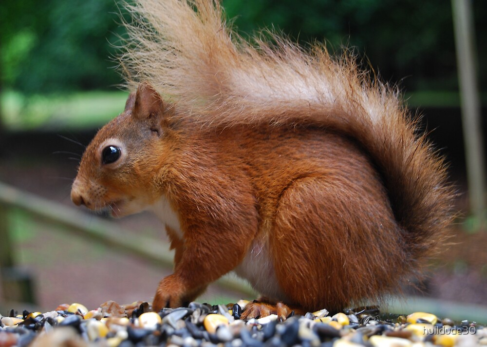 Red Squirrel by hulldude30