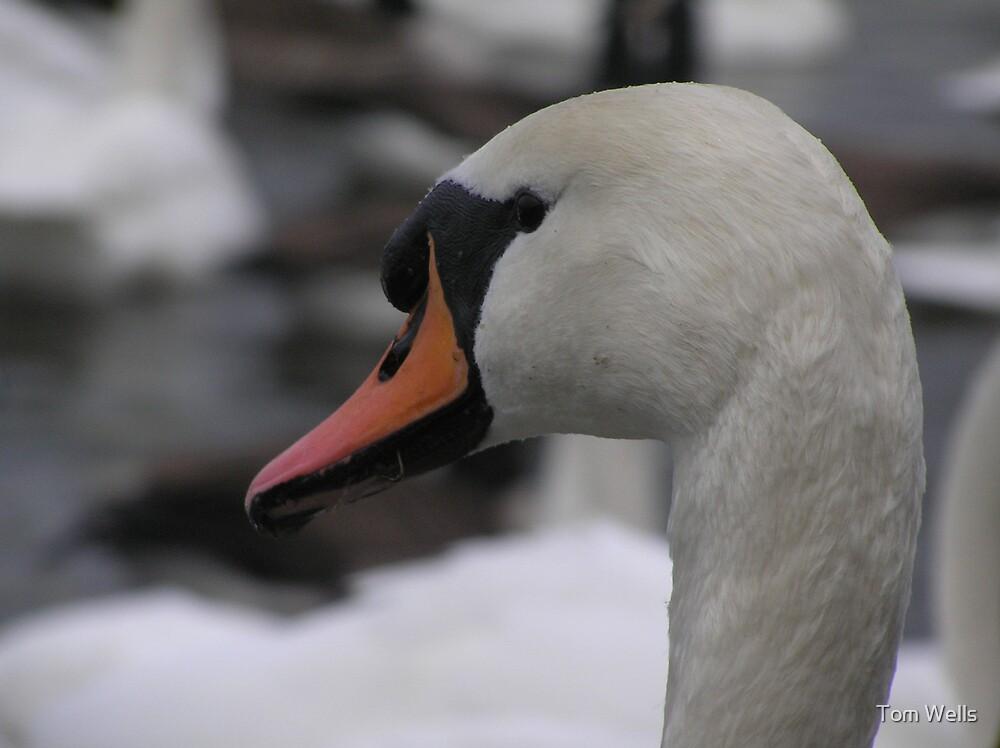 Mute Swan Portrait by Tom Wells