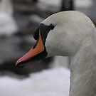 Mute Swan Portrait by Tom Wells