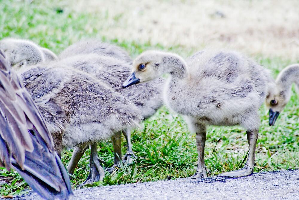 Ugly Duckling by Rod  Adams