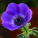 Purple Anemone by autumnwind