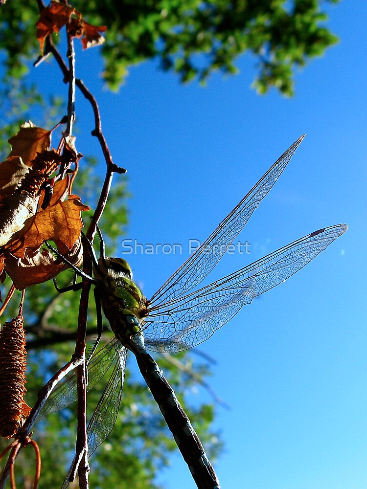 Dragon's Wings by Sharon Perrett