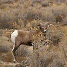 Utah Big Horn Sheep  by Tim Harper