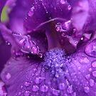 Deep Indigo Iris by Lucy Hollis