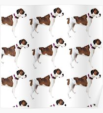 Asa Grey boxer dog Poster
