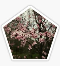 Faded pink blossom Sticker