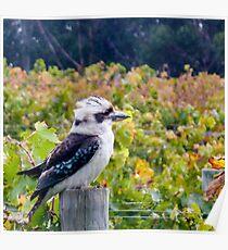Kooky kookaburra Poster